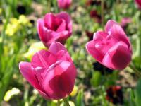 Крымские тюльпаны